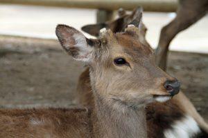 鹿-期間工-奈良